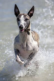 A whippet enjoys playing in the ocean at Corny Point in South Australia in Australia. Stock Photography