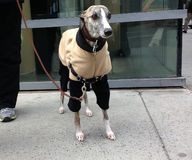 Whippet in A Fleece Royalty Free Stock Photography