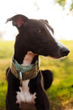 Whippet in the garden Royalty Free Stock Images