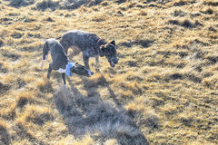 Whippet and German Pointer playing in autumn Royalty Free Stock Image