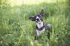 Whippet in a grass Stock Images