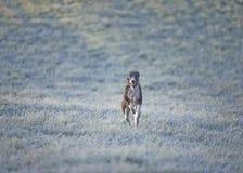 Whippet, greyhound έξω Στοκ εικόνα με δικαίωμα ελεύθερης χρήσης
