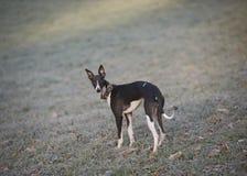 Whippet, greyhound outside Royalty Free Stock Photo