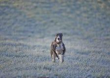 Whippet, greyhound outside Stock Image