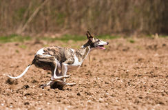 Whippet hunting Stock Photos