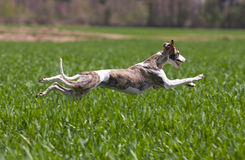 Whippet hunting Royalty Free Stock Photo
