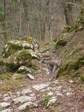 Whippet i bakgrunden av träd, stenar, rockswithmossa royaltyfria foton