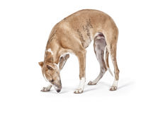 Whippet Royalty Free Stock Photography