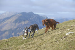 Whippet, Irish setter and German pointer in mountains Royalty Free Stock Photo