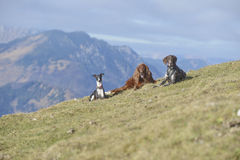 Whippet, Irish setter and German pointer in mountains Stock Images