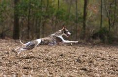 Whippet Jagd Stockfoto
