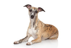 Whippet lying on white background Stock Photos