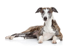 Whippet lying on a white background Stock Photos
