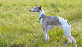 Whippet in meadow. A blue brindle and white whippet in a meadow stock image