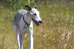 Whippet in meadow. A lovely whippet dog trotting through a meadow stock images