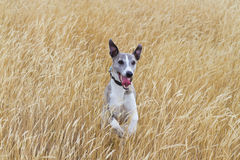 Whippet in meadow Royalty Free Stock Photo