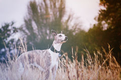 Whippet in meadow Royalty Free Stock Images