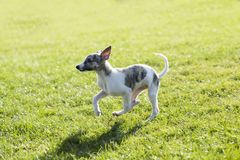 Whitby dog Royalty Free Stock Photography