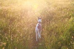 Whippet no prado, alargamento da lente fotografia de stock