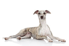 Whippet op witte achtergrond Stock Foto's