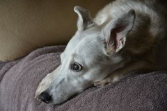 Whippet dog. A whippet photographed in 2017 Stock Photos