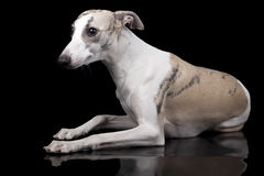 Whippet pies fotografia royalty free