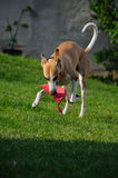 Whippet playing Stock Photos