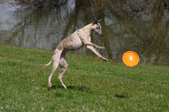 Whippet playing Royalty Free Stock Images