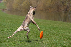 Whippet playing Royalty Free Stock Photos