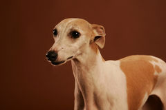Whippet Portrait Royalty Free Stock Photo