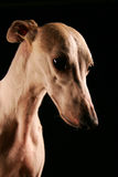 Whippet Portrait Royalty Free Stock Images