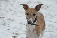 Whippet Royalty Free Stock Photo
