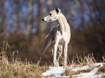 Whippet portrait Royalty Free Stock Image