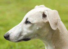 Whippet profile portrait Royalty Free Stock Images