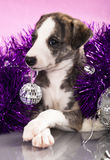 Whippet puppies Royalty Free Stock Photography
