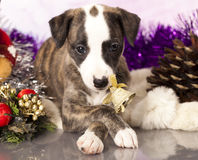 Whippet puppies Stock Photo