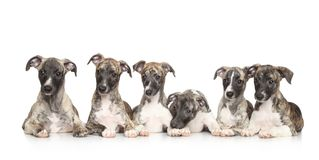 Whippet puppies Royalty Free Stock Photos