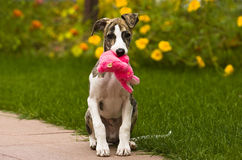 Whippet puppy. With pink toy royalty free stock photography