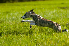 Whippet puppy. Standing on the field Royalty Free Stock Image