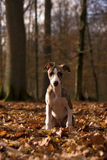 Whippet puppy. Standing in the autumn forest Royalty Free Stock Image