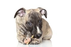 Whippet puppy chewing Stock Photography