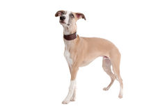 Whippet puppy dog Royalty Free Stock Photo