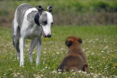 Whippet and puppy malinois. Portrait of a  whippet and puppy belgian sheepdog malinois in a field Royalty Free Stock Photos