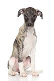 Whippet puppy portrait Stock Photo