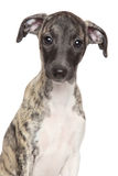 Whippet puppy portrait on white background Stock Photos