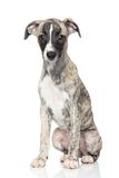 Whippet puppy Stock Photography