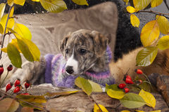 Whippet puppy Stock Image