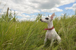 Whippet puppy Stock Images