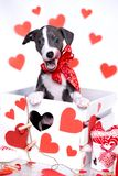 Whippet puppy and symbols of lovers stock photo