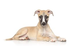 Whippet puppy on white background Stock Images